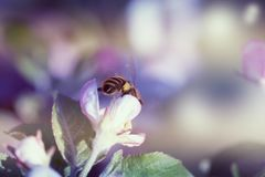Abeja en el flor de la manzana Abeja que recoge el polen en una flor rosada Fotos de archivo