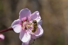 Abeja en el flor de la primavera Fotografía de archivo