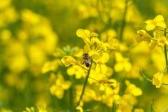 Abeja en el flor de la rabina Macro Foto de archivo libre de regalías