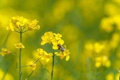 Abeja en el flor de la rabina Macro Fotografía de archivo