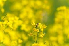 Abeja en el flor de la rabina Macro Fondo borroso Fotografía de archivo