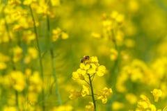 Abeja en el flor de la rabina Macro Fondo borroso Fotos de archivo