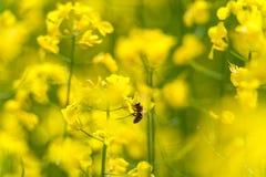 Abeja en el flor de la rabina Macro Fondo borroso amarillo Foto de archivo libre de regalías