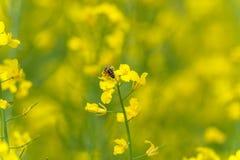 Abeja en el flor de la rabina Sesión fotográfica macra con el fondo borroso Fotos de archivo
