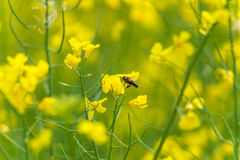 Abeja en el flor de la rabina Sesión fotográfica macra con el fondo borroso Foto de archivo