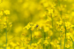 Abeja en el flor de la rabina Sesión fotográfica macra con el fondo borroso Imagen de archivo libre de regalías