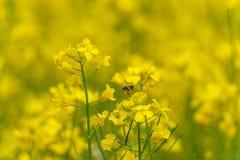 Abeja en el flor de la rabina Sesión fotográfica macra Fondo borroso Imagen de archivo