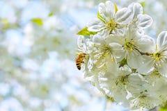 Abeja en el flor del cerezo, cierre para arriba Fotos de archivo