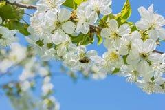 Abeja en el flor del cerezo, macro Fotografía de archivo libre de regalías