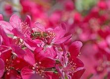 Abeja en el flor del manzano Imagenes de archivo