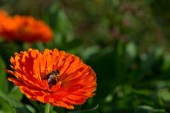 Abeja en el flor grande del rojo anaranjado Imagenes de archivo