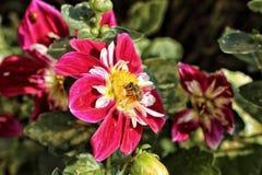 Abeja en el flor rojo y blanco Imagen de archivo
