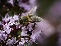 Abeja en el flor violeta Fotos de archivo