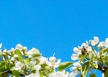 Abeja en el florete Tarjeta de felicitación del marco de la primavera Foto de archivo libre de regalías