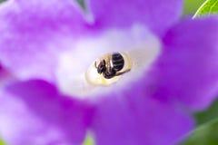 Abeja en el floribunda Hort del Bignonia Fotos de archivo
