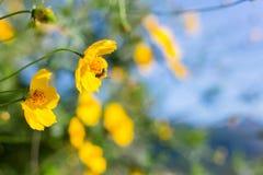 Abeja en el fondo hermoso de la flor Visión asombrosa con verde Foto de archivo