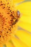 Abeja en el girasol Imagen de archivo