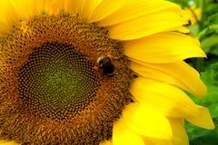 Abeja en el girasol Imagen de archivo libre de regalías