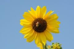 Abeja en el girasol Foto de archivo libre de regalías