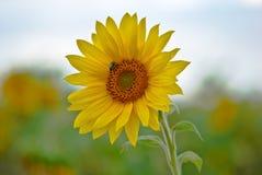 Abeja en el girasol del flor que recolecta el néctar Fotos de archivo libres de regalías