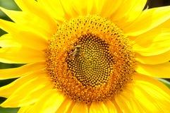 Abeja en el girasol Flor del girasol Fotos de archivo libres de regalías