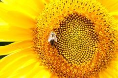Abeja en el girasol Flor del girasol Foto de archivo