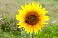 Abeja en el girasol Flor del girasol Foto de archivo libre de regalías