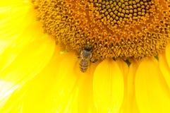 Abeja en el girasol Flor del girasol Imagen de archivo