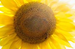 Abeja en el girasol Flor del girasol Imagen de archivo libre de regalías