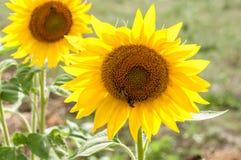 Abeja en el girasol Flor del girasol Fotos de archivo