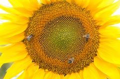 Abeja en el girasol Flor del girasol Fotografía de archivo libre de regalías