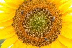 Abeja en el girasol Flor del girasol Imagenes de archivo
