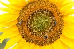 Abeja en el girasol Flor del girasol Fotografía de archivo
