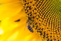 Abeja en el girasol Flor del primer del girasol, backgrou natural Imagen de archivo
