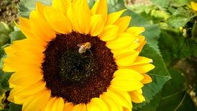Abeja en el girasol, recogiendo el polen Foto de archivo