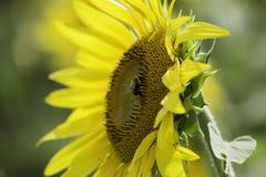 Abeja en el girasol en el sol de la tarde Fotos de archivo libres de regalías