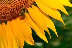 Abeja en el girasol tomado con la lente macra Imagen de archivo libre de regalías