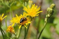 Abeja en el hawkweed floreciente Fotografía de archivo
