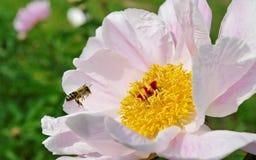 Abeja en el jardín. Foto de archivo libre de regalías