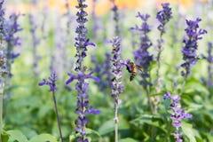 Abeja en el jardín azul de Salvia con el fondo de la falta de definición Fotografía de archivo