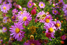 Abeja en el jardín en la flor de la lila Imágenes de archivo libres de regalías