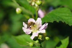 Abeja en el lat de Blackberry de la flor Rubus Imagen de archivo libre de regalías