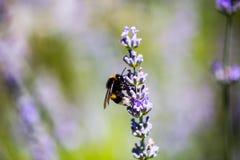 Abeja en el lavendel, piedras de afilar, insecto, flor Foto de archivo