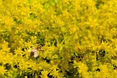 Abeja en el limón Coral Sedum Flowers Imagen de archivo