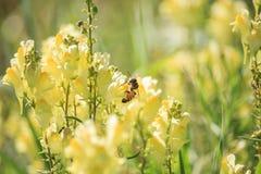 Abeja en el Linaria vulgaris en puesta del sol Imágenes de archivo libres de regalías