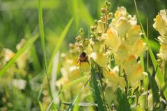 Abeja en el Linaria vulgaris en puesta del sol Fotos de archivo