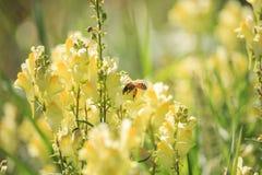 Abeja en el Linaria vulgaris en puesta del sol Fotografía de archivo libre de regalías