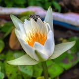 Abeja en el loto blanco Foto de archivo libre de regalías