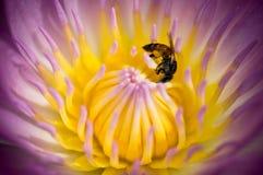 Abeja en el loto púrpura Foto de archivo