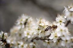 Abeja en el manzano en primavera Fotos de archivo